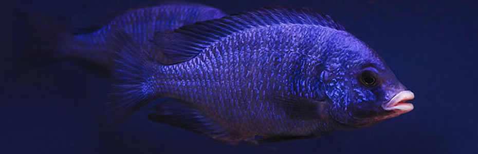 "Placidochromis phenochilus mdoka ""white lips"""
