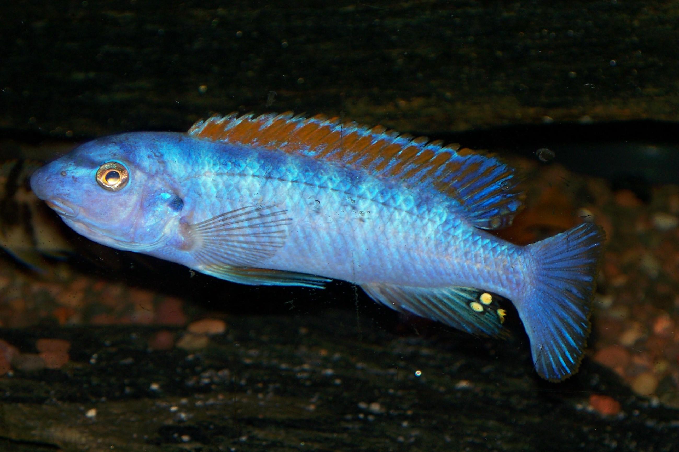 Labeotropheus trewavasae Chinyankwazi mascul