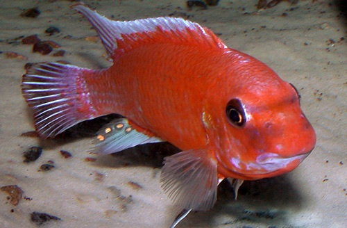Labeotropheus trewavasae mpanga red mascul