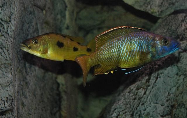 ciclide africane Exochochromis anagenys
