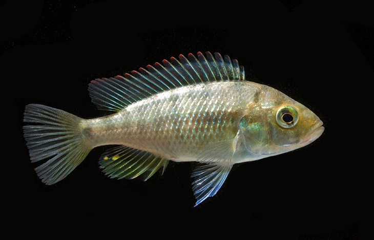 Haplochromis-sp.-blue-obliquidens female