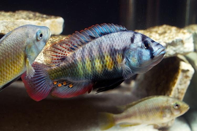 Mbipia lutea Makobe Island, Haplochromis sp. carp
