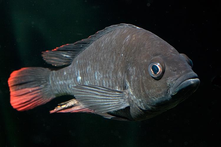Astatotilapia nubila, Haplochromis nubilus