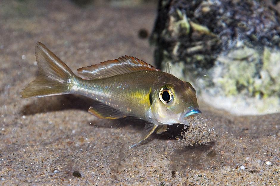 Callochromis Pleurospilus-Kigoma
