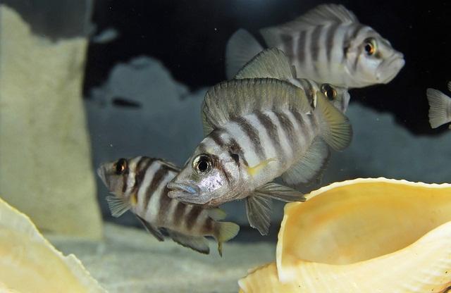 Altolamprologus Compressiseps Sumbu Shell