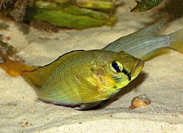 Allauad's Haplo, Astatoreochromis alluaudi