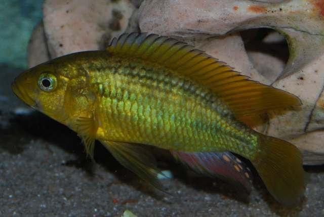 Astatoreochromis alluaudi mascul