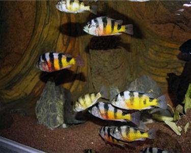 Zebra Obliquidens, Astatotilapia  latifasciata, Haplochromis latifasciata