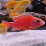 aulonocara firefish red dragon