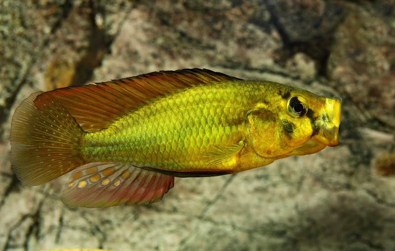 ciclide africane Astatoreochromis alluaudi mascul