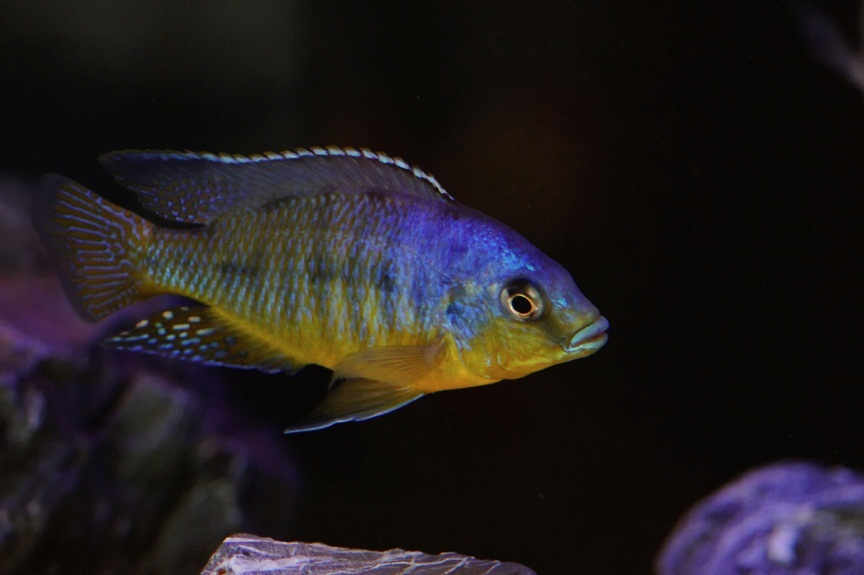 protomelas cf. virgatus pombo reef yellow chin