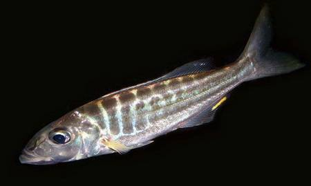 Bathybates Ferox