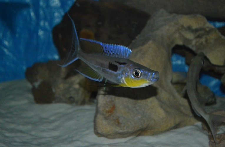 Benthochromis tricoti, ciclide africane, Lacul Tanganyika