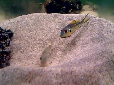 Callochromis Pleurospilus  Kigoma