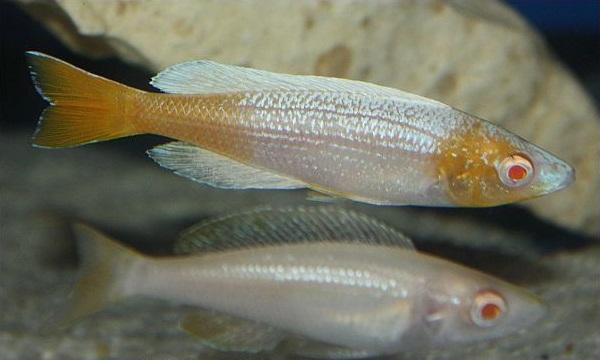 Cyprichromis leptosoma Kitumba albino pereche ciclide africane
