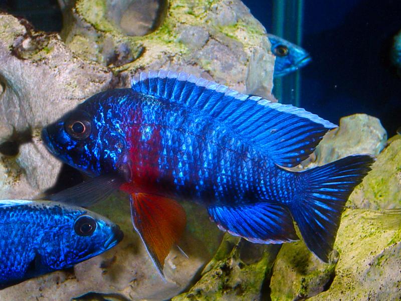 Aulonocara hansbaenschi red shoulder