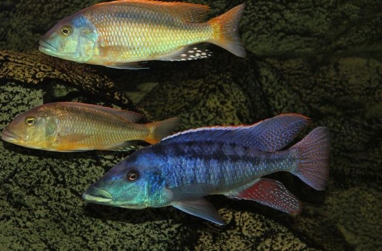 ciclide africane Buccochromis rhoadesii