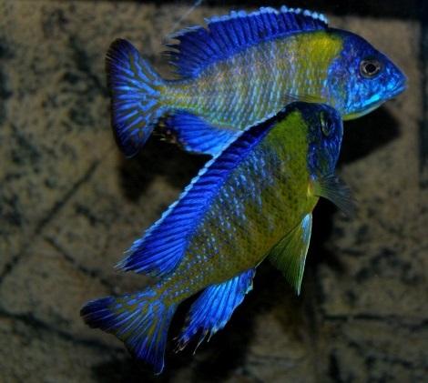 ciclide africane specii Aulonocara stuartgranti blue neon