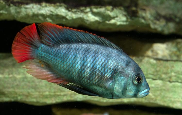 Haplochromis blue obliquidens