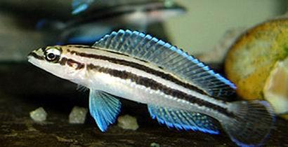 Julidochromis dickfeldi (Sumbu)