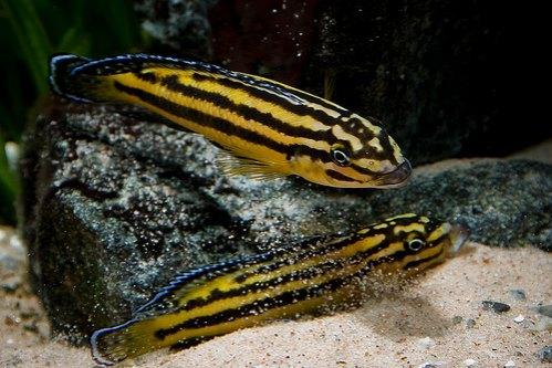 Julidochromis regani - ciclide africane