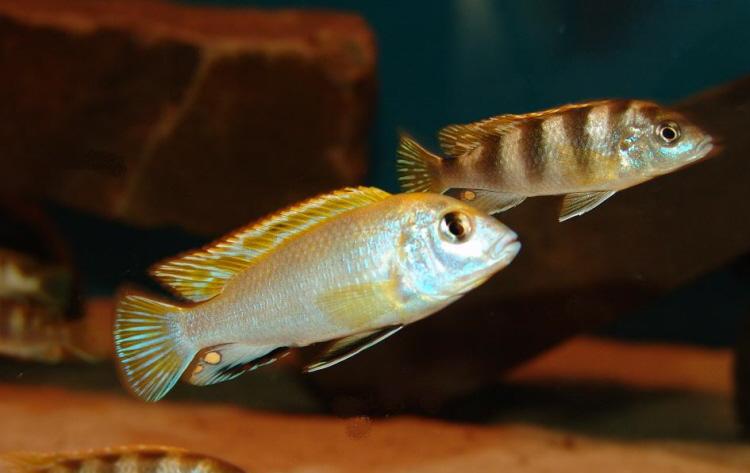 Labidochromis Perlmutt pereche ciclide africane