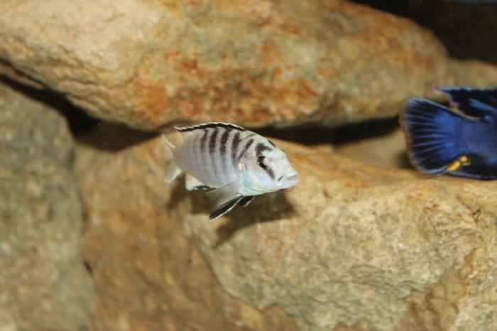 Labidochromis caeruleus - Nkali