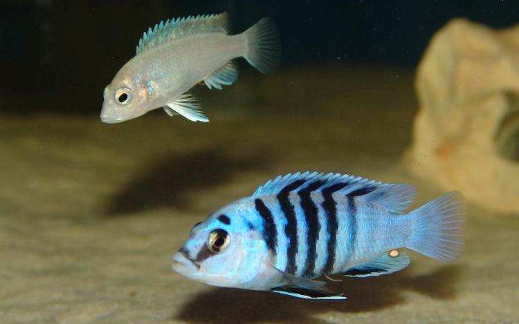 """Labidochromis chisumulae """"Chizumulu"""""""