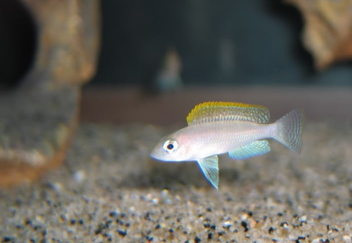 Lamprologus caudopunctatus Kapampa