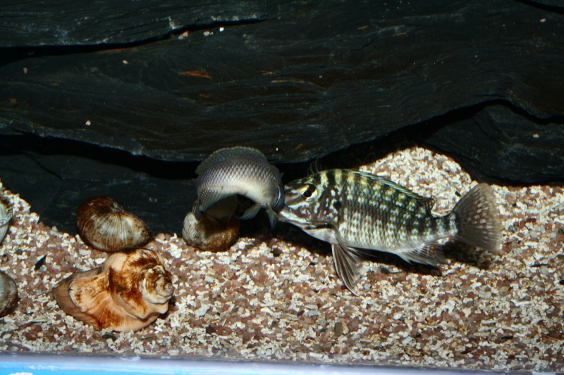 Lobochilotes labiatus, ciclide africane