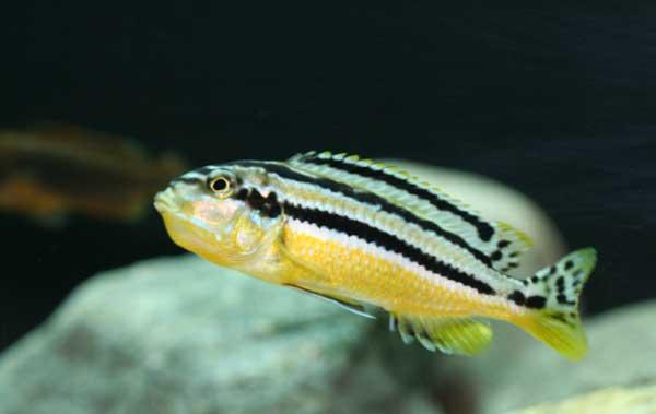 Melanochromis auratus femela ciclide africane gusata