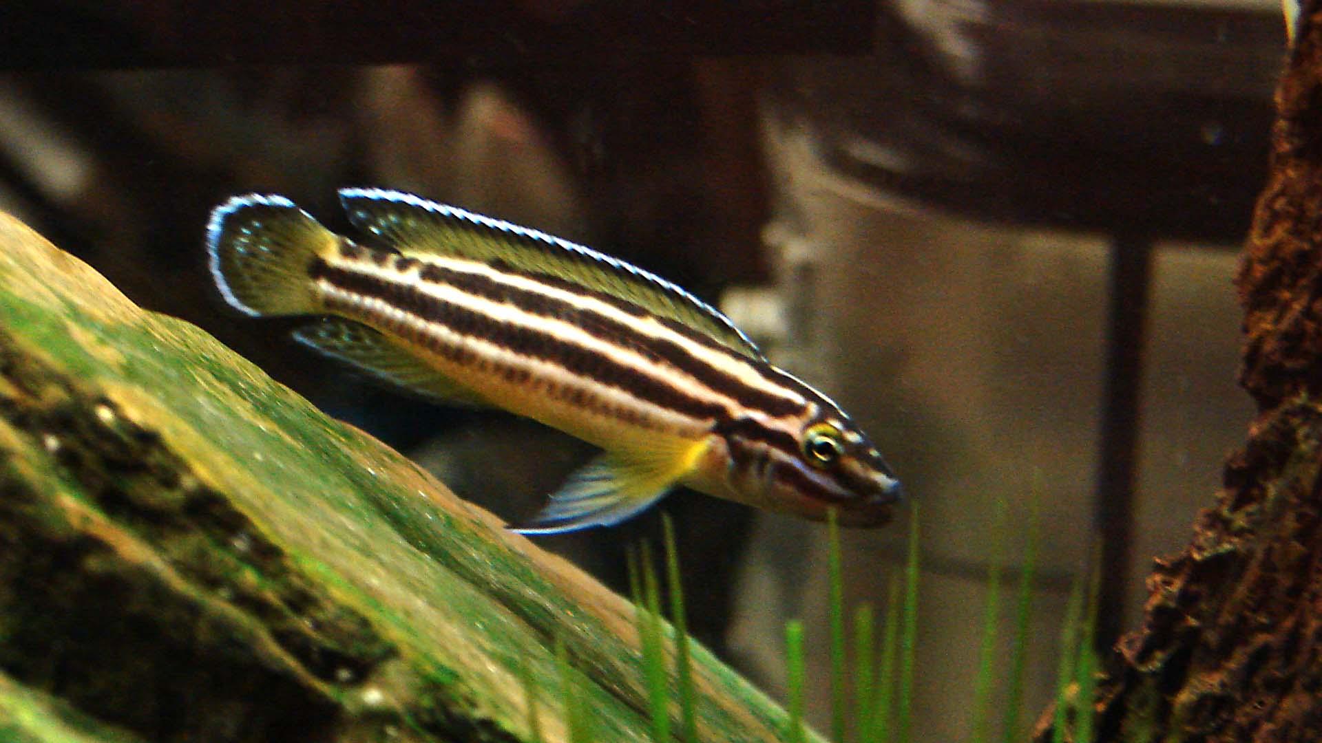 ciclide africane Julidochromis Regani
